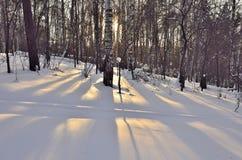 Sol del invierno en un bosque del abedul Fotos de archivo libres de regalías
