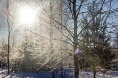 Sol del invierno a través de las ramas del abedul Imagen de archivo libre de regalías