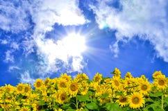 Sol del verano sobre el campo del girasol Fotos de archivo libres de regalías