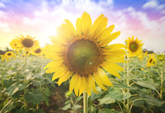 Sol del verano sobre el fondo de la naturaleza del campo del girasol foto de archivo