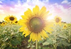 Sol del verano sobre el fondo de la naturaleza del campo del girasol Fotografía de archivo