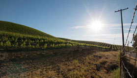 Sol do amanhecer que brilha em vinhedos de Paso Robles no Central Valley de Califórnia EUA Imagens de Stock