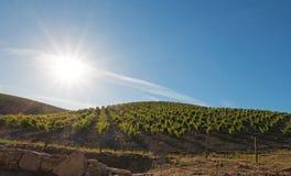 Sol do amanhecer que brilha em vinhedos de Paso Robles no Central Valley de Califórnia EUA Imagem de Stock