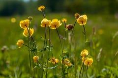 Sol do globo-, os botões do amarelo Imagem de Stock Royalty Free