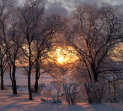 Sol do inverno nos ramos das árvores, cobertos de neve Fotos de Stock