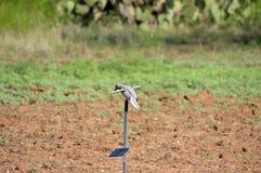 Sol- drev Mojo Dove Decoy i den Texas öknen arkivfoto
