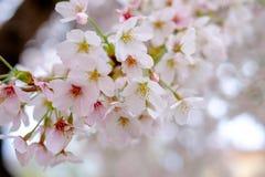 Sol för körsbärsröda blomningar på våren Fotografering för Bildbyråer