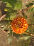 Sol florescido Foto de Stock Royalty Free