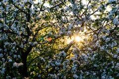 Sol från blomningträdet Arkivfoto