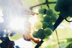 Sol-gjord genomvåt grön saftig druva som växer i vingård arkivbild