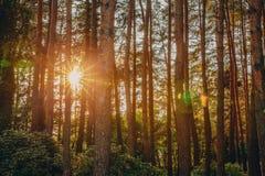 Sol hermosa de Sun de la salida del sol de la puesta del sol en Sunny Summer Coniferous fotos de archivo