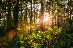 Sol hermosa de Sun de la salida del sol de la puesta del sol en Sunny Summer Coniferous imagen de archivo