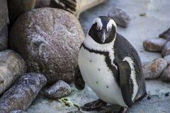 Sol hermoso y divertido del pingüino en un grupo de pares Imágenes de archivo libres de regalías