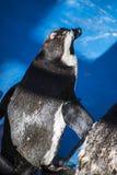 Sol hermoso y divertido del pingüino en un grupo de pares Imagen de archivo libre de regalías