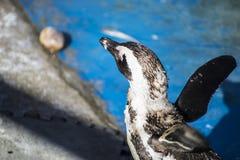 Sol hermoso y divertido del pingüino en un grupo de pares Foto de archivo