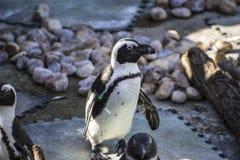 Sol hermoso y divertido del pingüino en un grupo de pares Foto de archivo libre de regalías