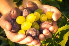Sol ligero de las uvas de los ciruelos de las manos de las frutas Imágenes de archivo libres de regalías
