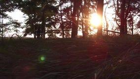Sol movente do brilho da luz solar do pinho da floresta A natureza do nascer do sol do outono bonita o steadicam da paisagem disp filme