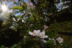 Sol- och äppleträd Arkivfoto