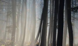 Sol- och dimmaskog Royaltyfri Fotografi