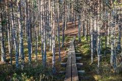 Sol och skuggor som drar linjer i vårpinjeskoglånga rader av skuggor och banan Arkivfoton