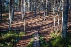 Sol och skuggor som drar linjer i vårpinjeskoglånga rader av skuggor och banan Royaltyfri Bild