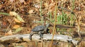Sol pintado de la tortuga que toma el sol en el parque Newport Va de la charca de Pandapas almacen de video