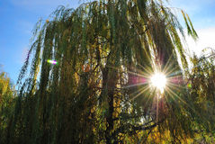 Sol radiante detrás de un árbol Fotos de archivo