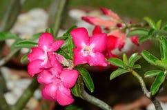 Sol rosada de la flor de la azalea Flor rosada hermosa Foto de archivo libre de regalías