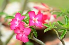 Sol rosada de la flor de la azalea Flor rosada hermosa Imagen de archivo libre de regalías
