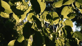 Sol` s rays avbrott till och med sidorna av trädet arkivfilmer