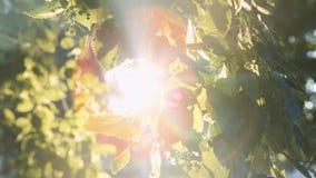 Sol` s rays avbrott till och med sidorna av trädet stock video