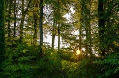 Sol som bryter till och med träd i skogen arkivbild