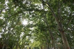 Sol som når en höjdpunkt till och med gröna träd royaltyfria bilder