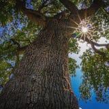Sol som når en höjdpunkt till och med sidor av trädet fotografering för bildbyråer