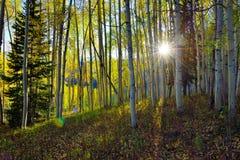 Sol som skiner till och med den högväxta guling- och gräsplanaspen i skogen under lövverksäsong Royaltyfri Fotografi