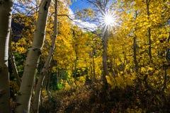 Sol som skiner till och med en dunge av asp- träd fotografering för bildbyråer