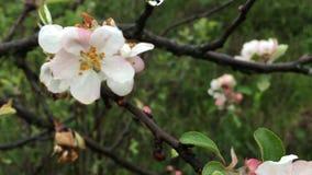 Sol som skiner till och med filialer för blomningäppleträd arkivfilmer