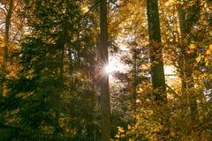 Sol som skiner till och med Forest Trees Foliage i höst royaltyfria bilder