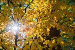 Sol som skiner till och med guld- Stillahavs- lövverk för nuttallii för Cornus för bergskogskornellträd, Calaveras stora träd del Royaltyfri Bild