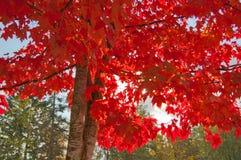 Sol som skiner till och med lönnträd med röda sidor; gräsplansidor i bakgrund Royaltyfri Foto