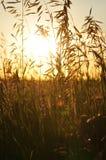 Sol som skiner till och med något högväxt gräs Royaltyfria Bilder