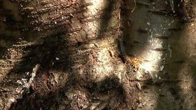 Sol som spelar på en Cherry Tree Bark stock video
