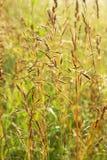 Sol- spikelets av gräs Fotografering för Bildbyråer