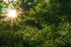 Sol till och med det Sumac trädet Arkivbild