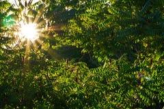 Sol till och med det Sumac trädet Royaltyfria Bilder