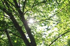 Sol till och med gröna trädsidor royaltyfri fotografi