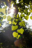 Sol till och med sidorna av träd Arkivbild
