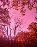 Sol till och med träd som tas med ett magentafärgat linsfilter Royaltyfria Foton