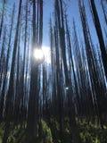 Sol till och med trädfilialen Arkivfoto